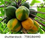 Fruits Of Papaya Tree In...