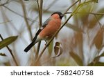 male bullfinch in a willow  | Shutterstock . vector #758240758