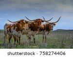 Texas Longhorn Cattle In Range...