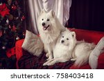 Two Samoyed Laika In A...