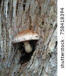 Mushroom  Pholiota Destruens ...