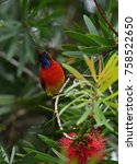 Small photo of Mrs. Gould's Sunbird; Aethopyga gouldiae,Sunbird in northern of Thailand