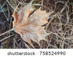 faded frosted maple  acer  leaf ... | Shutterstock . vector #758524990