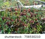 wild lingonberries growing... | Shutterstock . vector #758530210