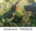 wild lingonberries growing... | Shutterstock . vector #758530216