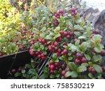 wild lingonberries growing... | Shutterstock . vector #758530219