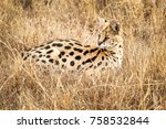 Serval Lies In The Grass