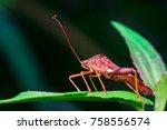 Small photo of Stink, Florida Leaf-footed Bug (Arthropoda: Insecta: Hemiptera: Heteroptera: Pentatomomorpha: Coreidae: Acanthocephala Femorata) posing and sitting on a green leaf and isolated with black background