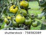 Ripening Yellow Green Tomatoes...