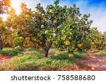ripe pomelo fruits hang on the... | Shutterstock . vector #758588680