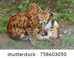 euroasian lynx in the bavarian...   Shutterstock . vector #758603050