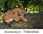 euroasian lynx in the bavarian...   Shutterstock . vector #758603068