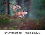 close up red fox  vulpes vulpes ... | Shutterstock . vector #758615323