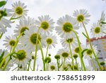 blooming daisies against the... | Shutterstock . vector #758651899
