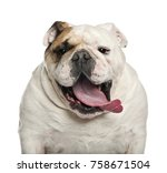 English Bulldog  6 Years Old ...