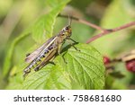 Marsh grasshopper in a macro...