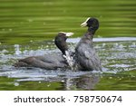 Small photo of Close up of two Eurasian coots Fulica atra waterfowl showing aggression and fighting