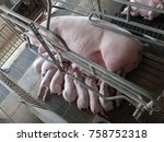piglets suckling milk from... | Shutterstock . vector #758752318