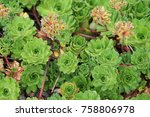 Small photo of Androsace sempervivoides rockjasmine green plant background