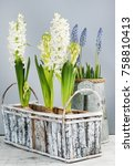 white hyacinths and muscari...   Shutterstock . vector #758810413