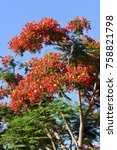Small photo of Flamboyant tree flowering with bright red flowers