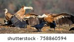 Small photo of Two griffon vulture (Gyps fulvus) and hiss at each other.