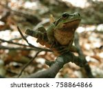 Beautiful Green Frog On A...