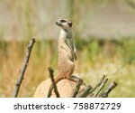 the meerkat or suricate ... | Shutterstock . vector #758872729