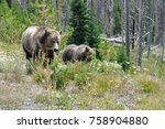 grizzly bears in yellowstone... | Shutterstock . vector #758904880