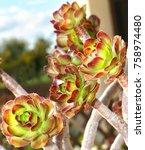 Small photo of Subtropical shrub of the family Crassulaceae aeonium tree flower