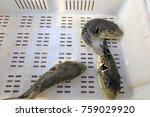 takifugu rubripes in a... | Shutterstock . vector #759029920