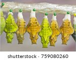 Yellow And Green Pupae Of A...