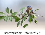 Small photo of Male Eastern Bluebird in American Holly Tree