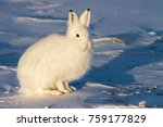 Stock photo white arctic hare in the snow 759177829