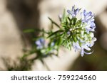 close up of rosemary in bloom....   Shutterstock . vector #759224560