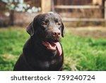 A dog, a labrador, a dog sticks out his tongue, a labrador walks in the park, a dog in the backyard.
