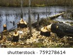 Beavers Build Their Dam On A...