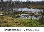 Beavers Build Their Dam On A...