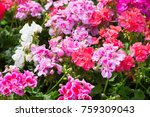blossoming red and pink... | Shutterstock . vector #759309043