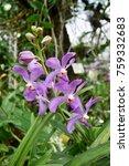 mokara hybrid orchids stock... | Shutterstock . vector #759332683