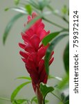 Small photo of Red Alpinia flower