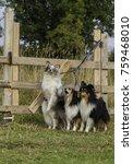 Group Of Four Shetland Shepher...