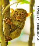 Stock photo tarsier monkey in natural environment 75955231