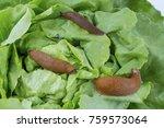 snail with lettuce leaf | Shutterstock . vector #759573064