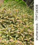 Small photo of Dark coleus ornamental plant leaves at colorful Garden