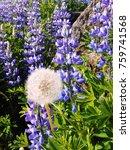 blue lupine flower in iceland | Shutterstock . vector #759741568