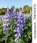 blue lupine flower in iceland | Shutterstock . vector #759741574