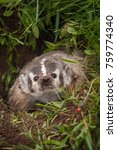 Small photo of North American Badger (Taxidea taxus) Snarls Forward - captive animal