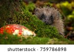 Native  Wild Hedgehog Peeping...