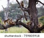 baboons hanging around in a... | Shutterstock . vector #759805918